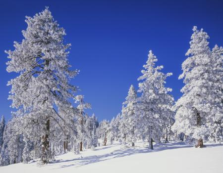 snow covered trees in a meadow