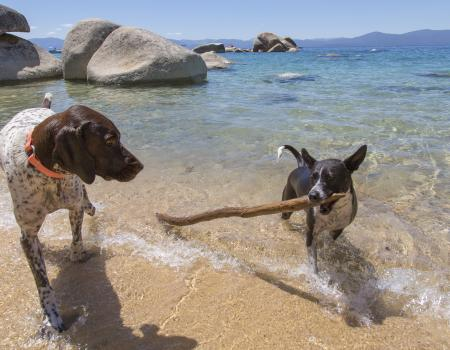 dogs playing at the edge of the water, dog with stick in his mouth at edge of water