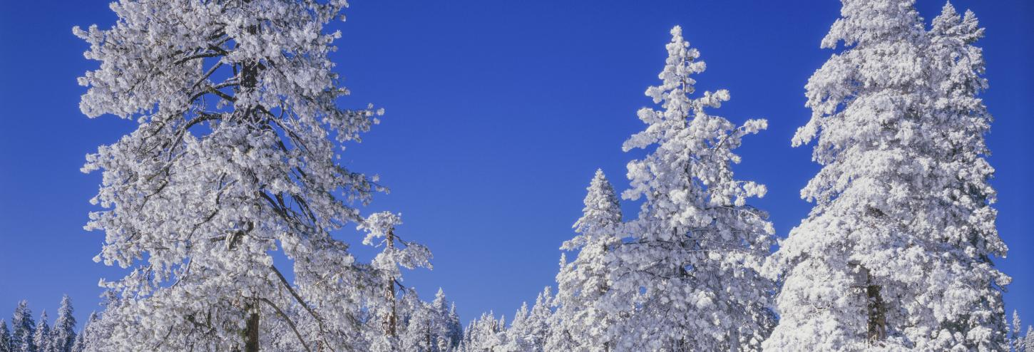 snow covered trees with blue skies